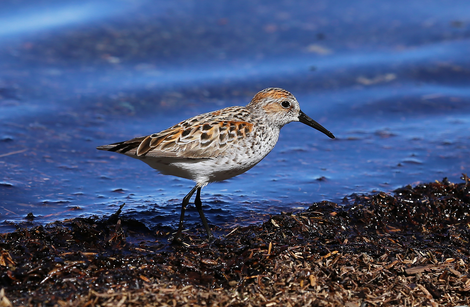 My New Buddies: Sandpipers