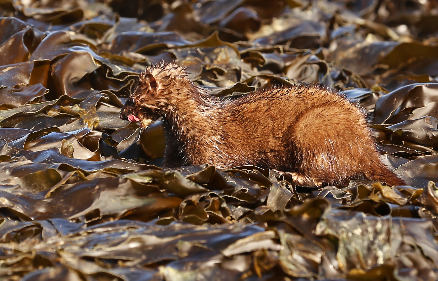 American Mink ( Neovison vison)  licking the crab snack off of it's lips and getting ready to dive under the kelp for more.