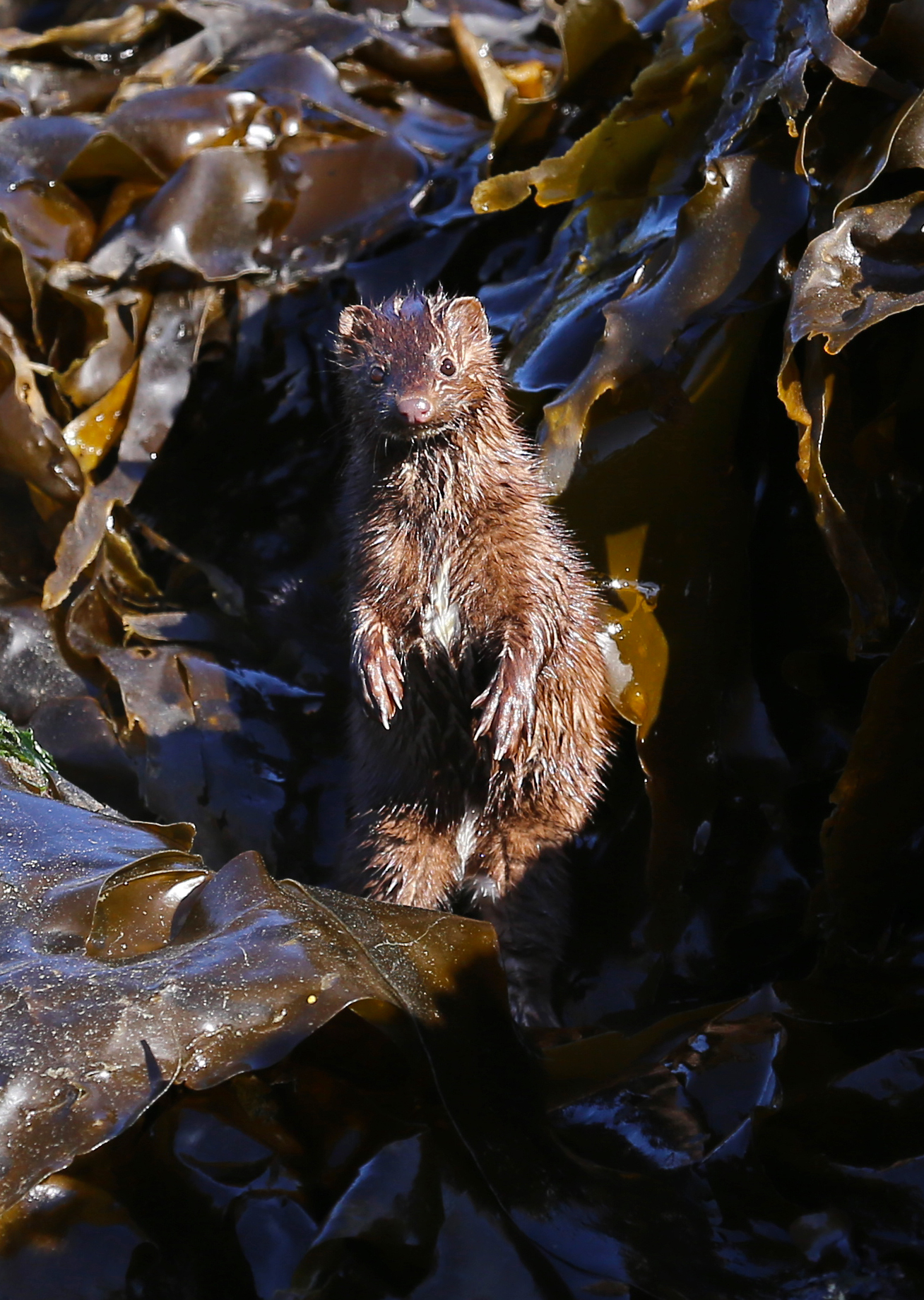 mink standing up beach kelp Southeast Alaska