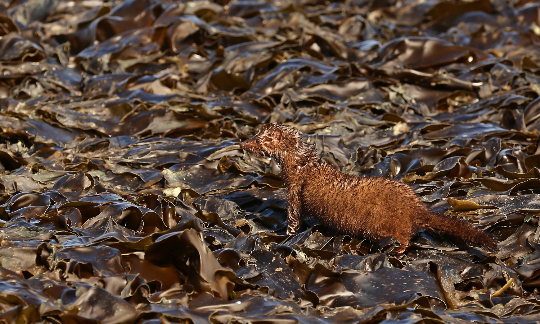 Mink kelp beach Alaska Southeast