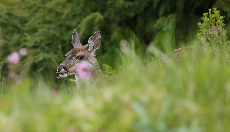 deer doe licking nose Southeast Alaska Sitka blacktail