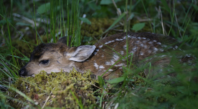 Pretty cute Fawn Sitka Blacktail Prince of Wales Island Alaska