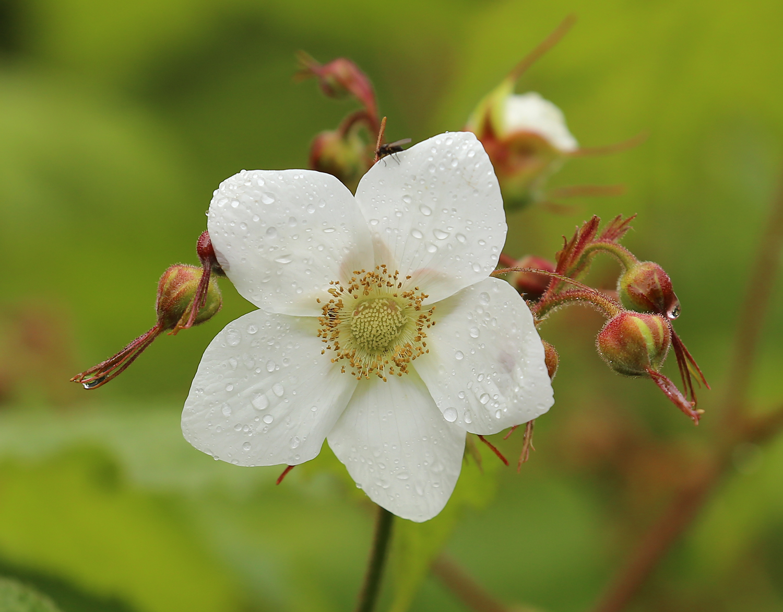 Thimbleberry blossom ( Rubus parviflorus )