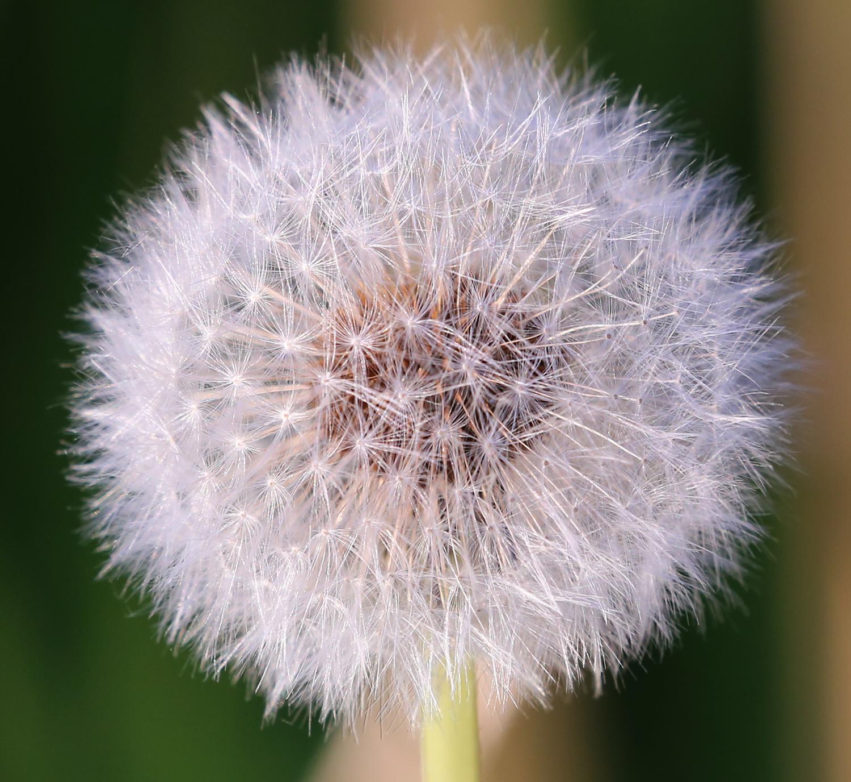 Dandelion seed puff.