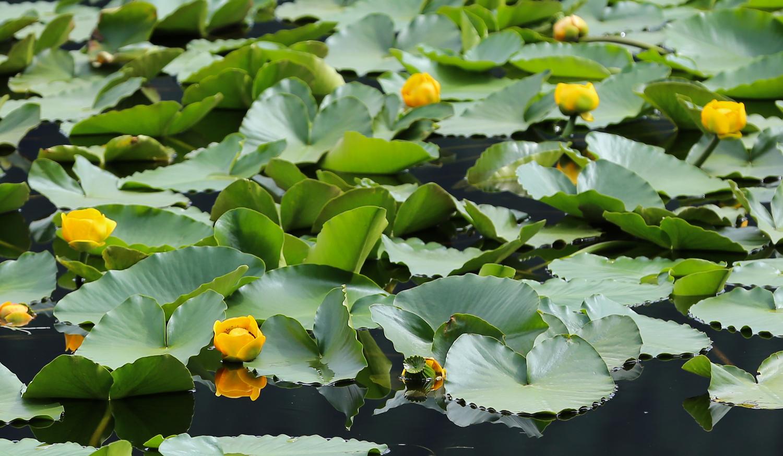 Yellow pond lily ( Nuphar polysepalum )