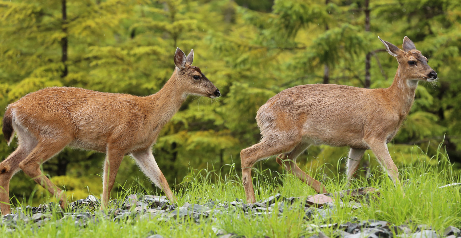 Twin Sitka blacktail deer button buck doe Southeast Alaska Prince of Wales Island Button buck