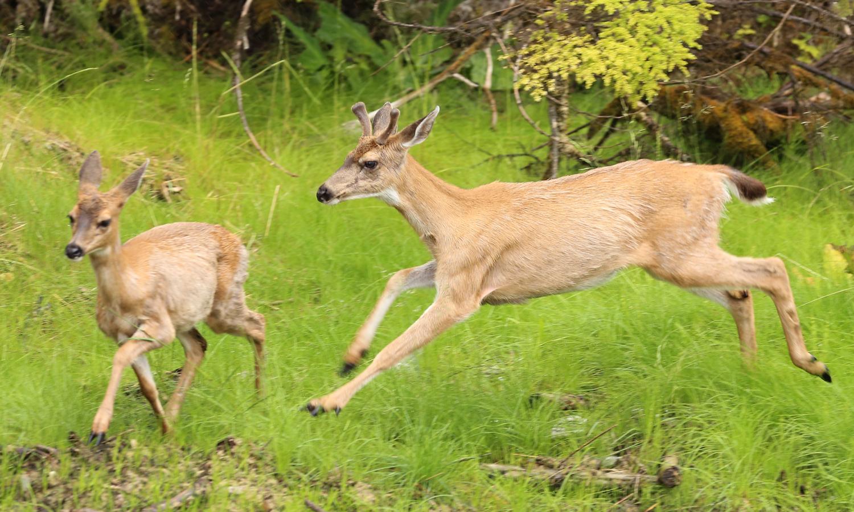 Buck deer chasing doe forked horn in velvet sitka blacktail deer southeast alaska prince of wales island (Odocoileus hemionus sitkensis)