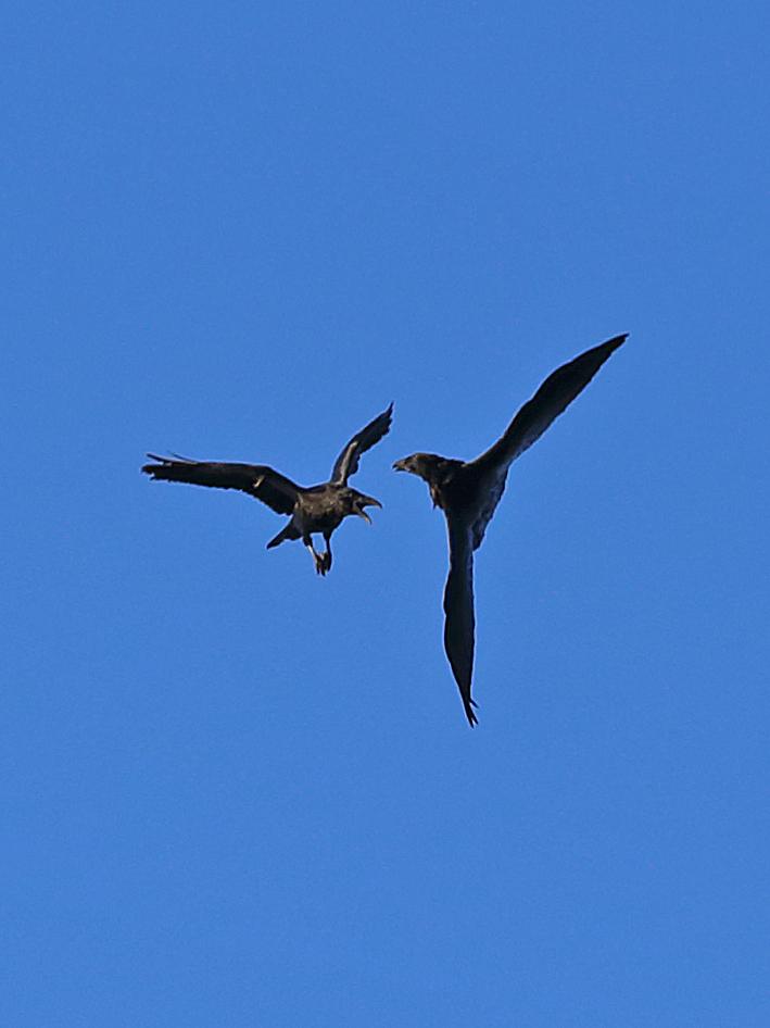 Raven Ravens in flight fighting playing corvid corvus corax southeast Alaska aerobatic big bird flight
