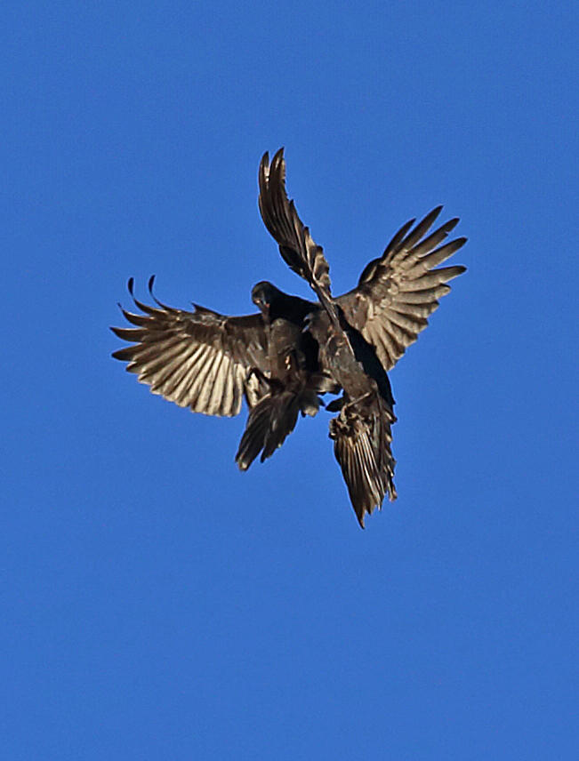 Ravens in flight Corvus corax corvids big black bird flying playing fighting fly Southeast Alaska