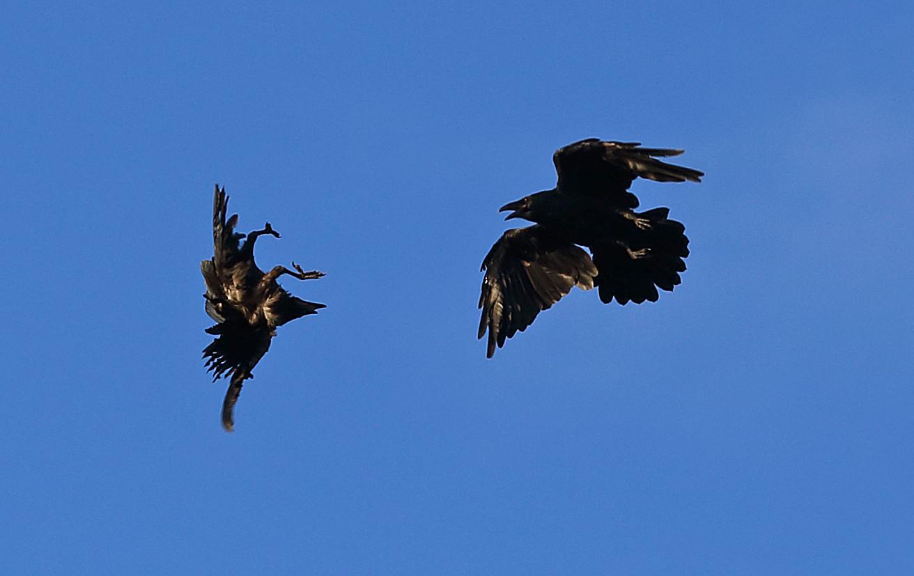 Ravens flying in flight playing fighting upside down aerobatic Southeast Alaska amazing Corvus corax corvid