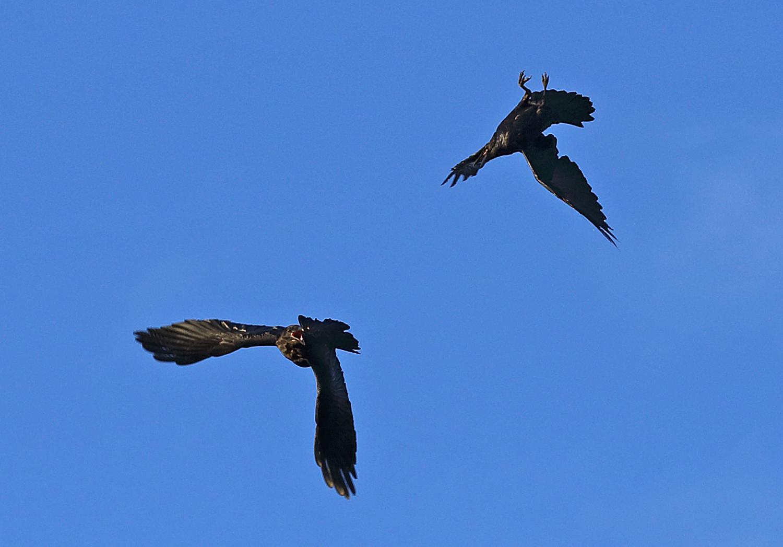 Raven Ravens Corvus corax corvid flying in flight playing fighting aerobats upside down Southeast Alaska big black bird