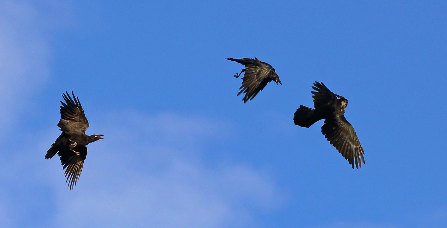 Ravens playing fighting raucous in the air flight flying Corvus corax corvids Southeast Alaska upside down