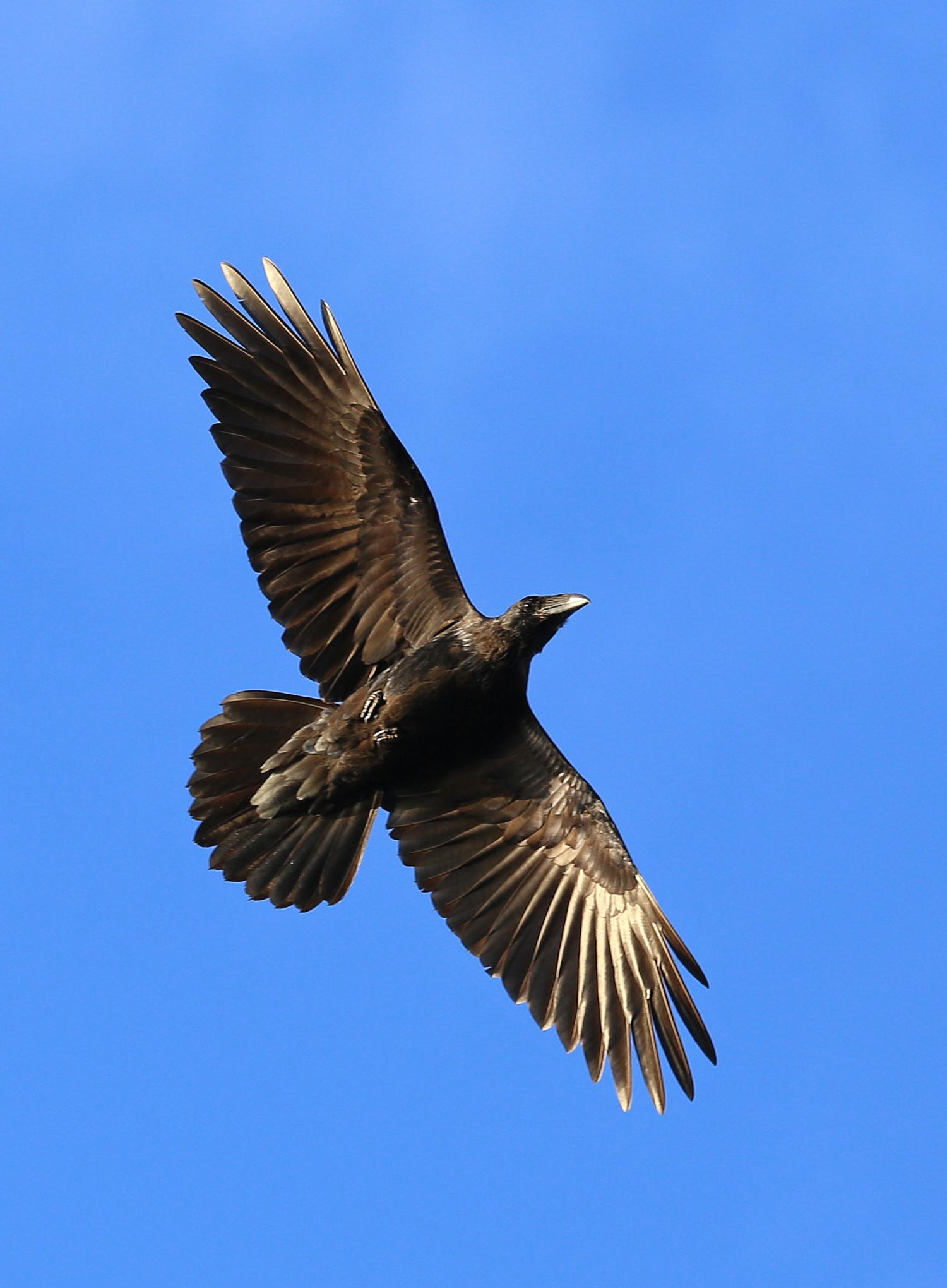 Raven in flight sun on wings beautiful gorgeous pretty corvid Corvus corax big black bird Southeast Alaska flying wingspan