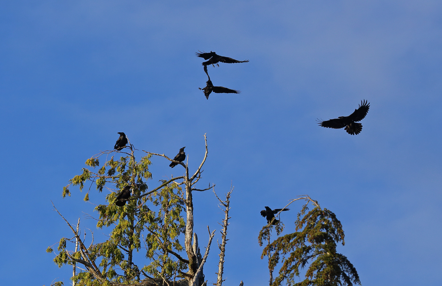 Ravens roosting playing in trees corvid corvus corax Southeast Alaska flock big black birds funny pretty