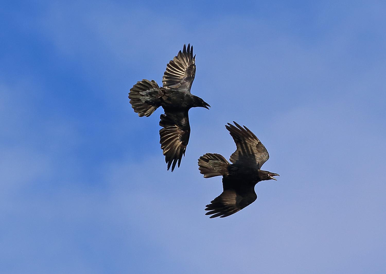 Raven flying in flight interacting two ravens big black bird Corvus corax corvids Southeast Alaska shadow