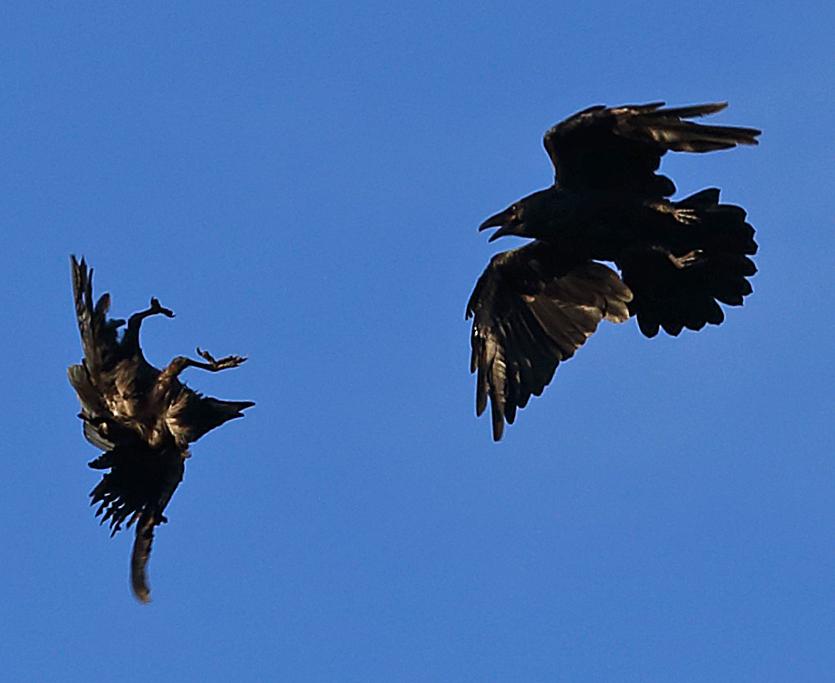 Aerobatic Ravens