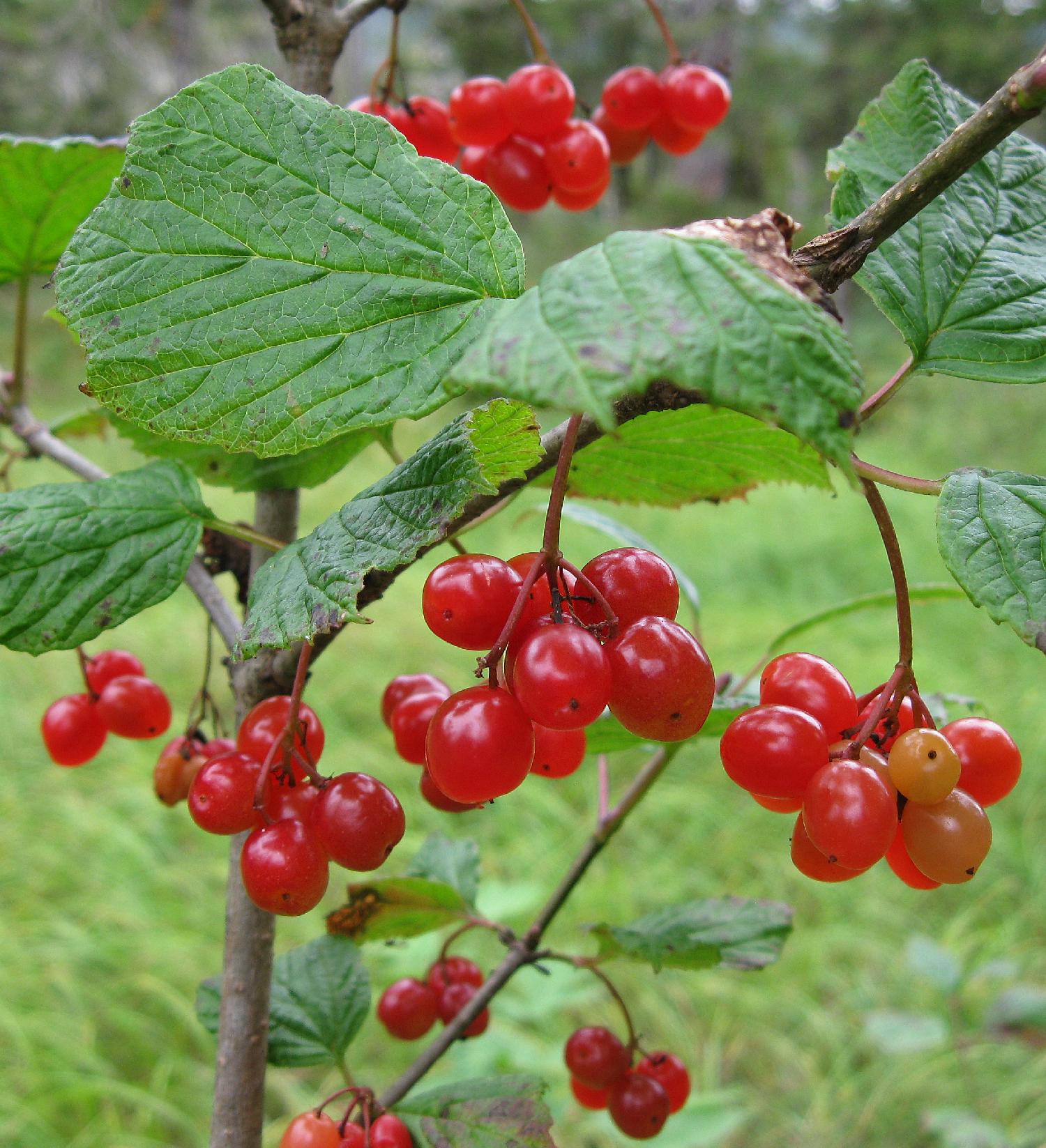 Highbush cranberry  (viburnum edule)
