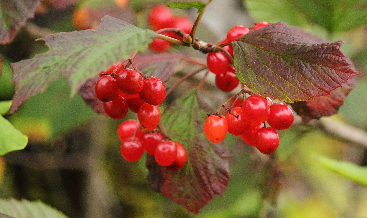 Highbush Cranberries are not actually cranberries, but that is what we call them anyway.