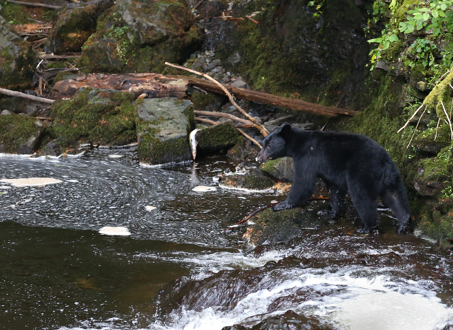 Alaska black bear fish stream southeast dog salmon creek bear viewing station platform