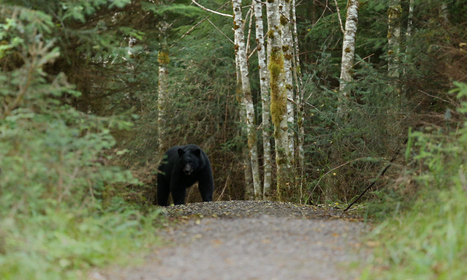 bear in path trail challenge black bear ursus americanus scary prince of wales island southeast alaska