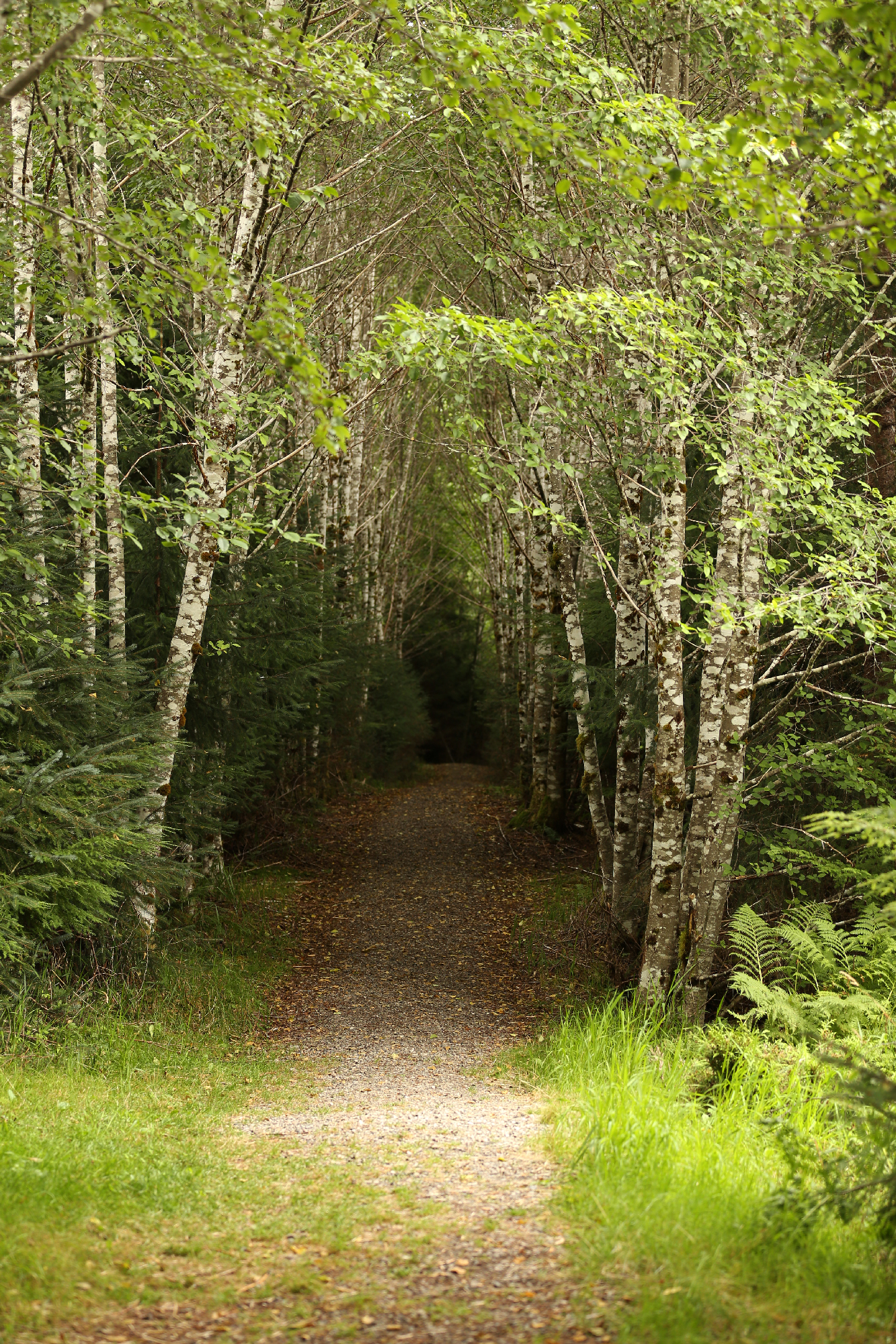 The tree-lined path to the bear viewing platform.