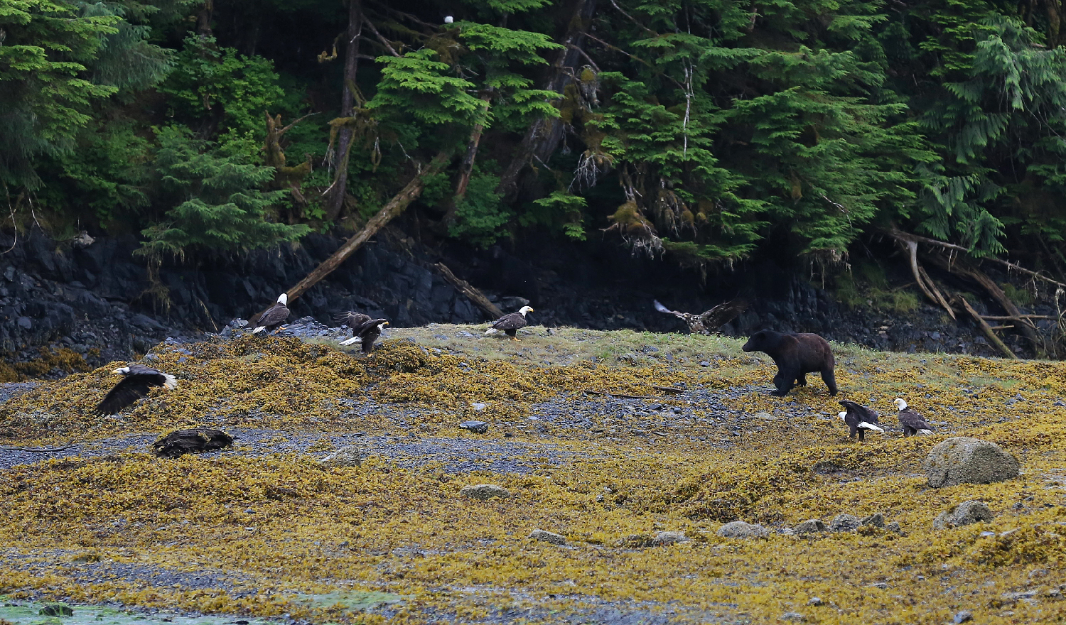 black bear ursus americanus bald eagles prince of wales island southeast alaska cool