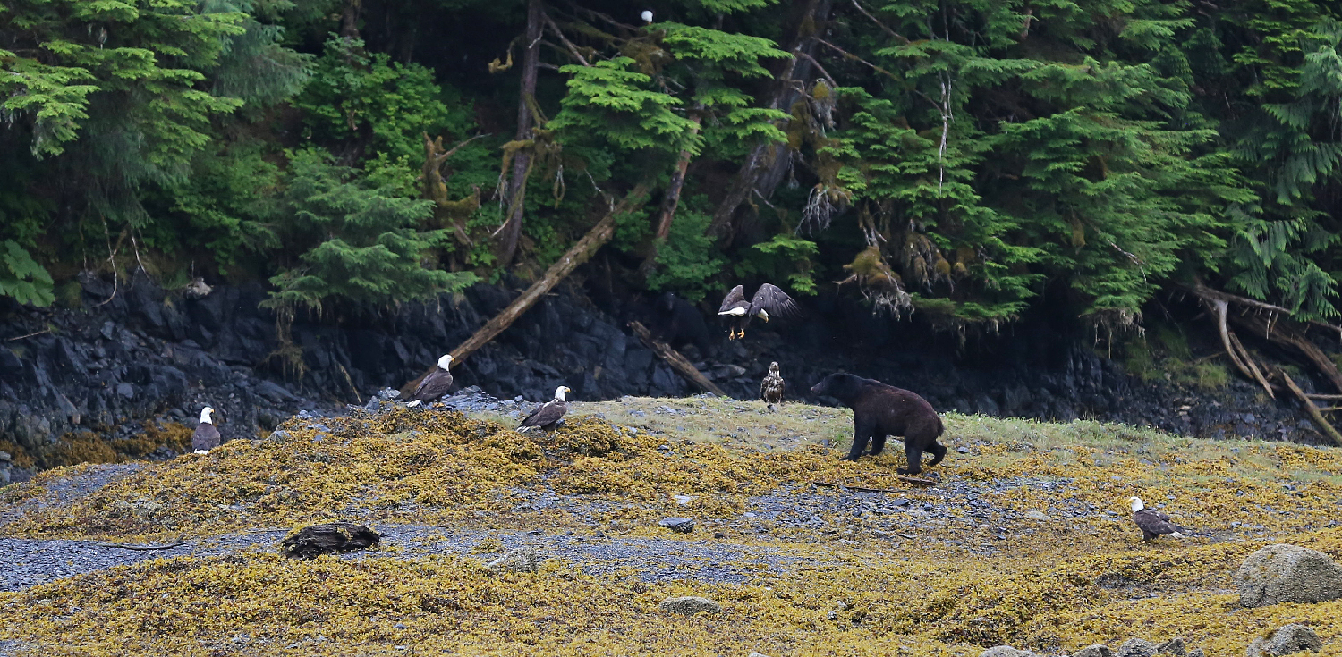 black bear boar ursus americanus bald eagles beach prince of wales island southeast alaska