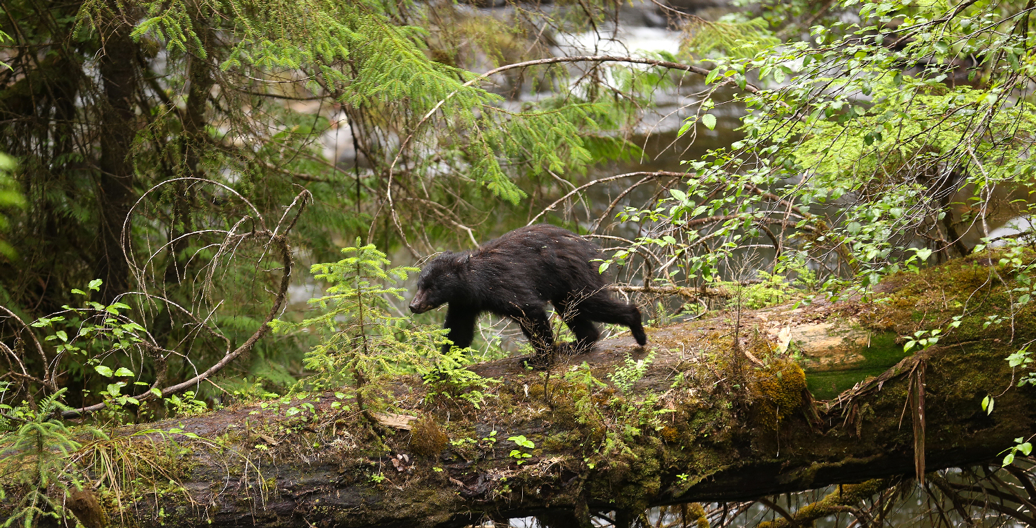Scruffy yearling black bear using a log bridge to cross a creek.