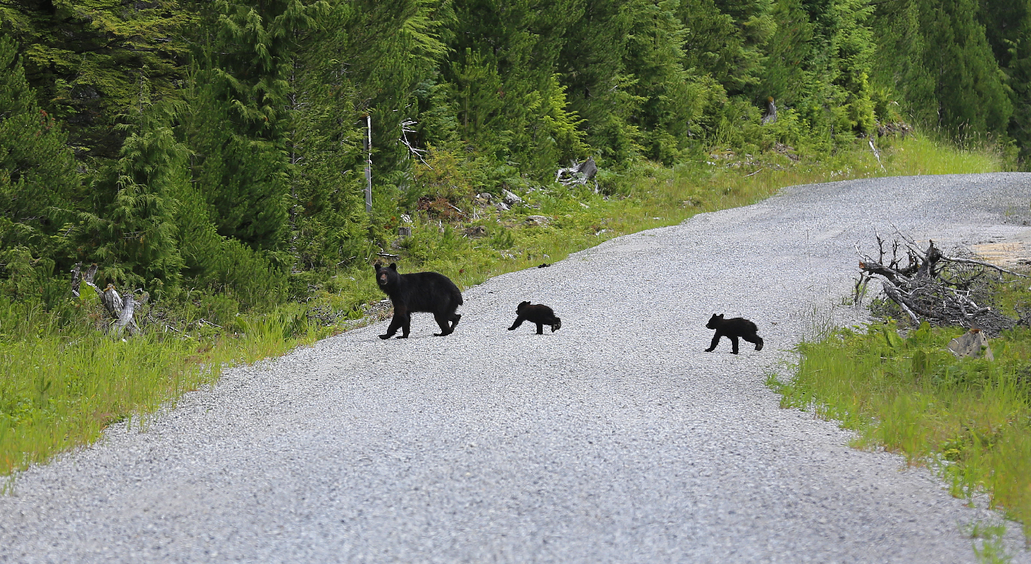 black bear sow mom mamma twin cubs road cute running prince of wales island southeast alaska
