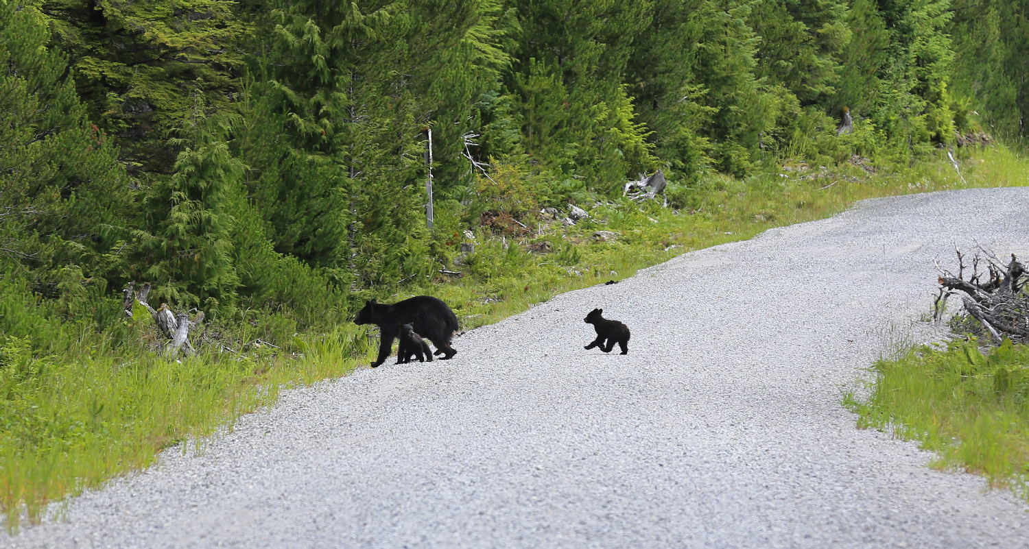 black bear sow mom mamma two cubs twins crossing road cute fun prince of wales island southeast alaska