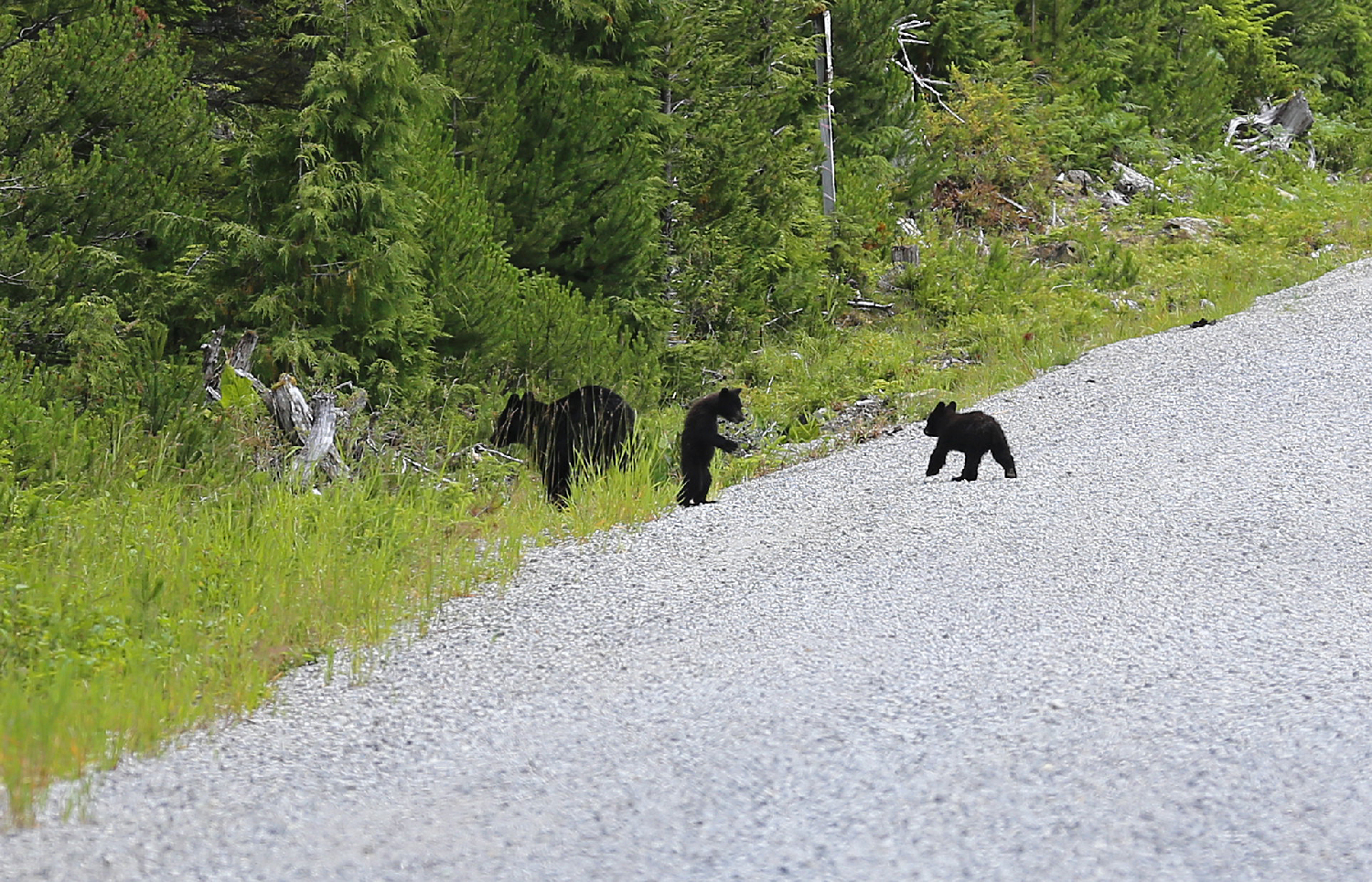 bear cub black bear sow mom mamma twins crossing road standing up southeast alaska prince of wales island