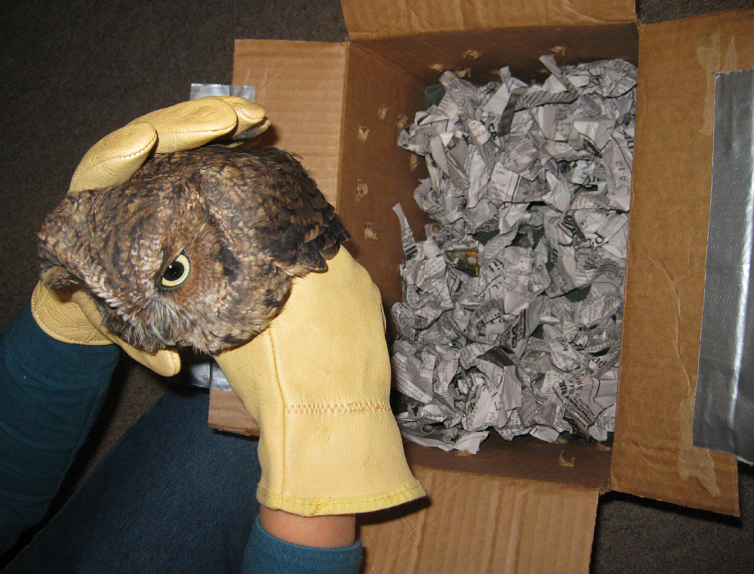 red phase screech owl  southeast alaska sitka raptor center leather gloves box ship transport shredded paper air holes