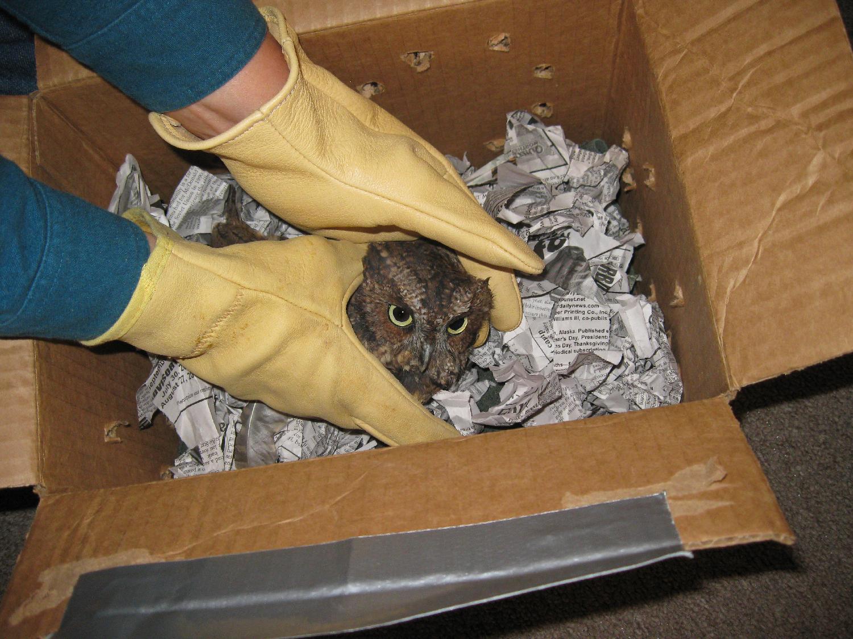 screech owl red phase box shredded paper leather gloves handle Sitka Raptor Center send ship transport medivac