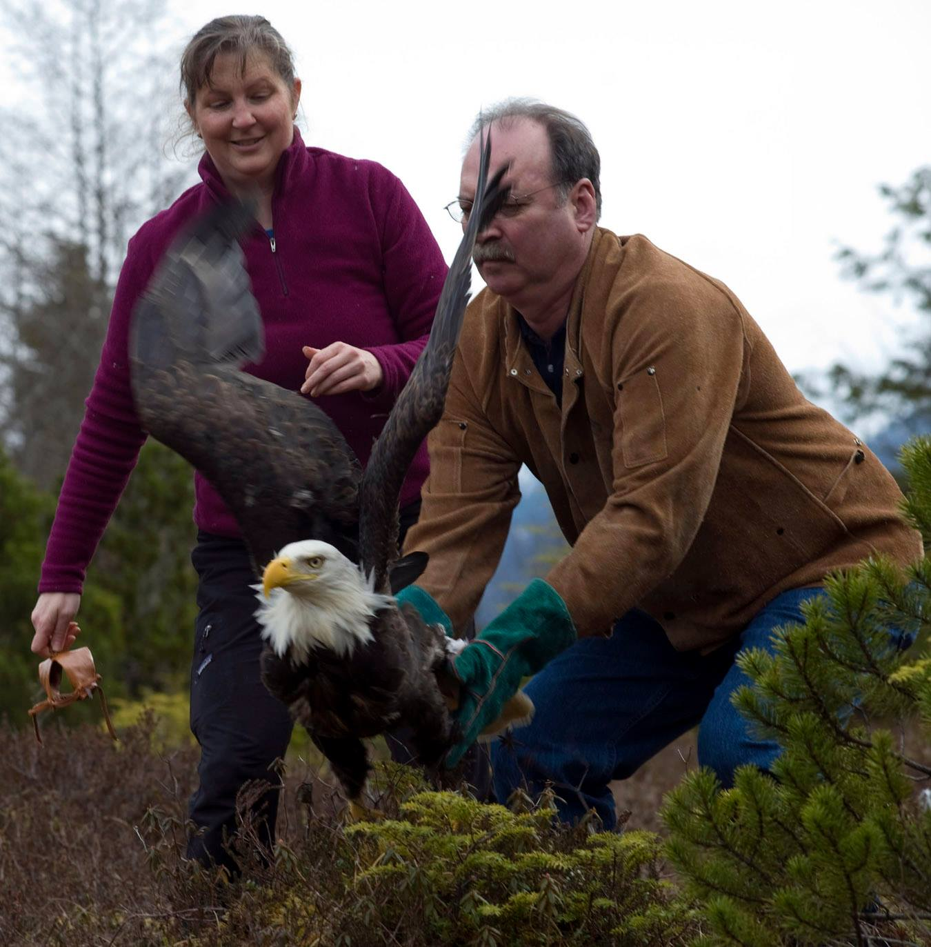 Releasing a healed mature bald eagle back into the wild. Photo courtesy of the Alaska Raptor Center.
