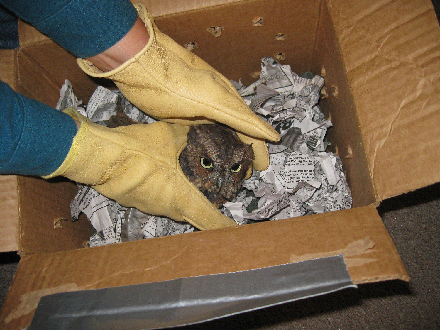 Putting Thorne into a box to send him to the Alaska Raptor Center in Sitka.