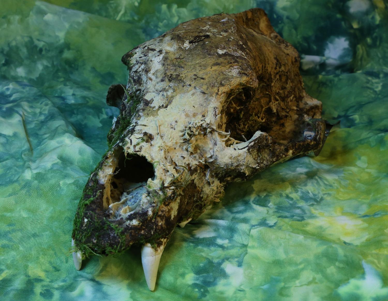Black bear skull old mossy moss big teeth Alaska Southeast Prince of Wales Island