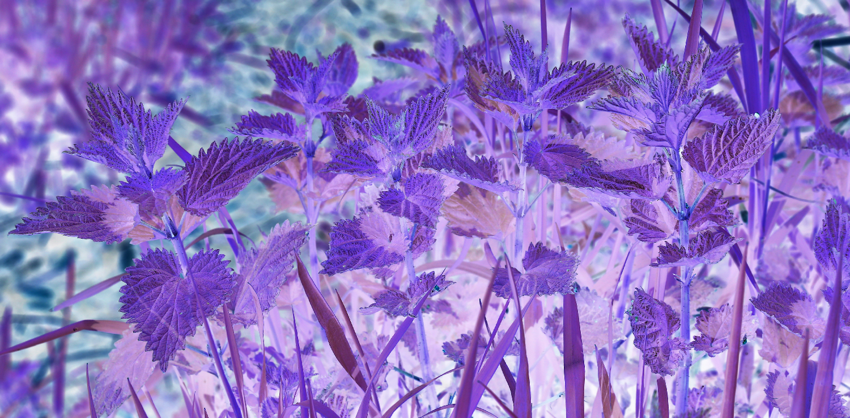 Stinging nettles inverted purple fun abstract Southeast Alaska