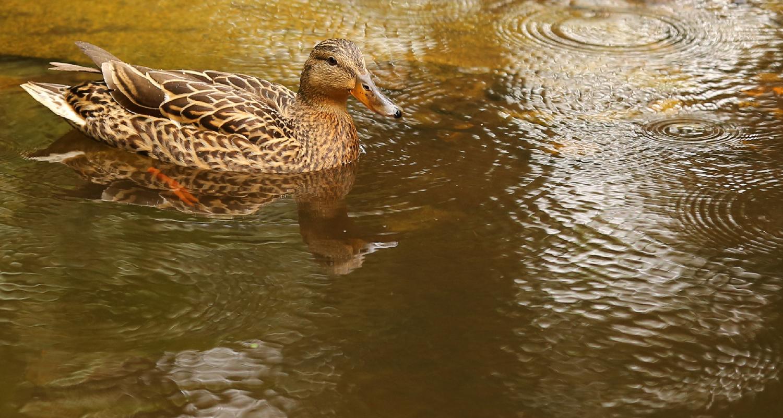 Duck female mallard pretty rain water