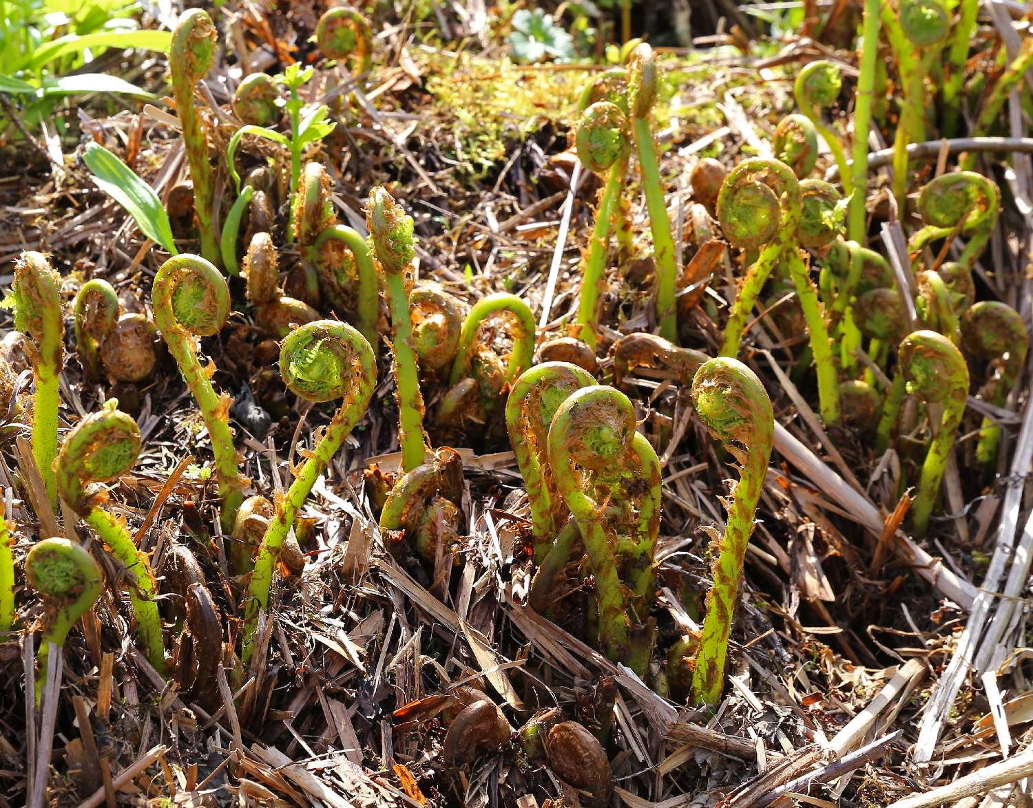 Fiddlehead ferns dancing out of the ground.