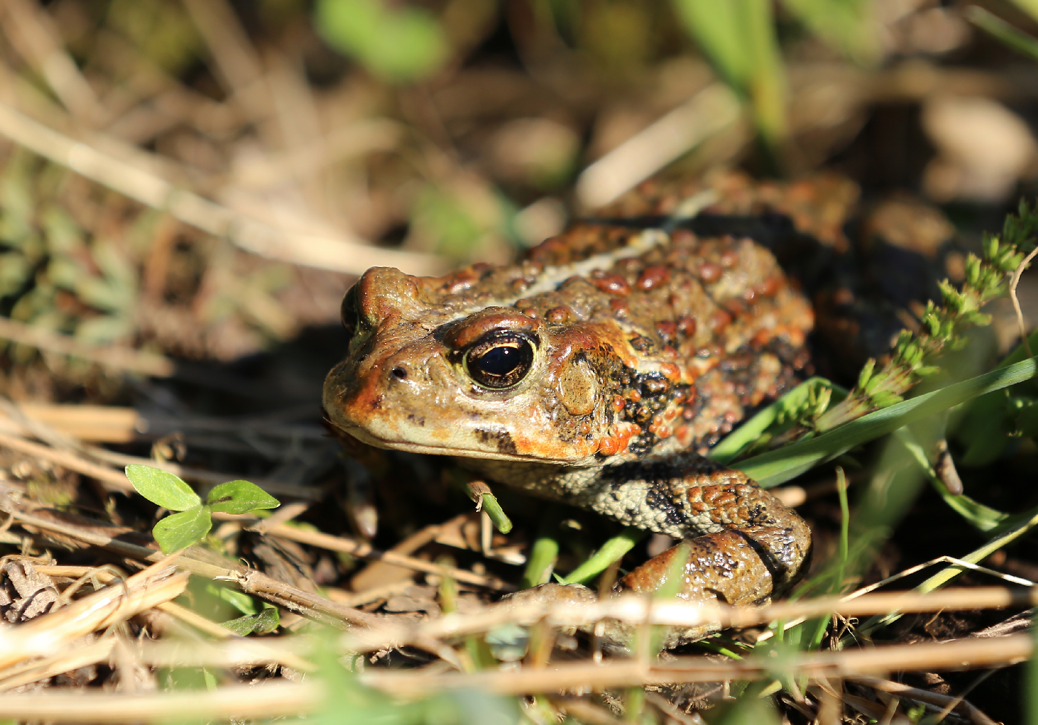 A nice, big adult Western toad. They come in brown and green around here. Brown ones are more common.