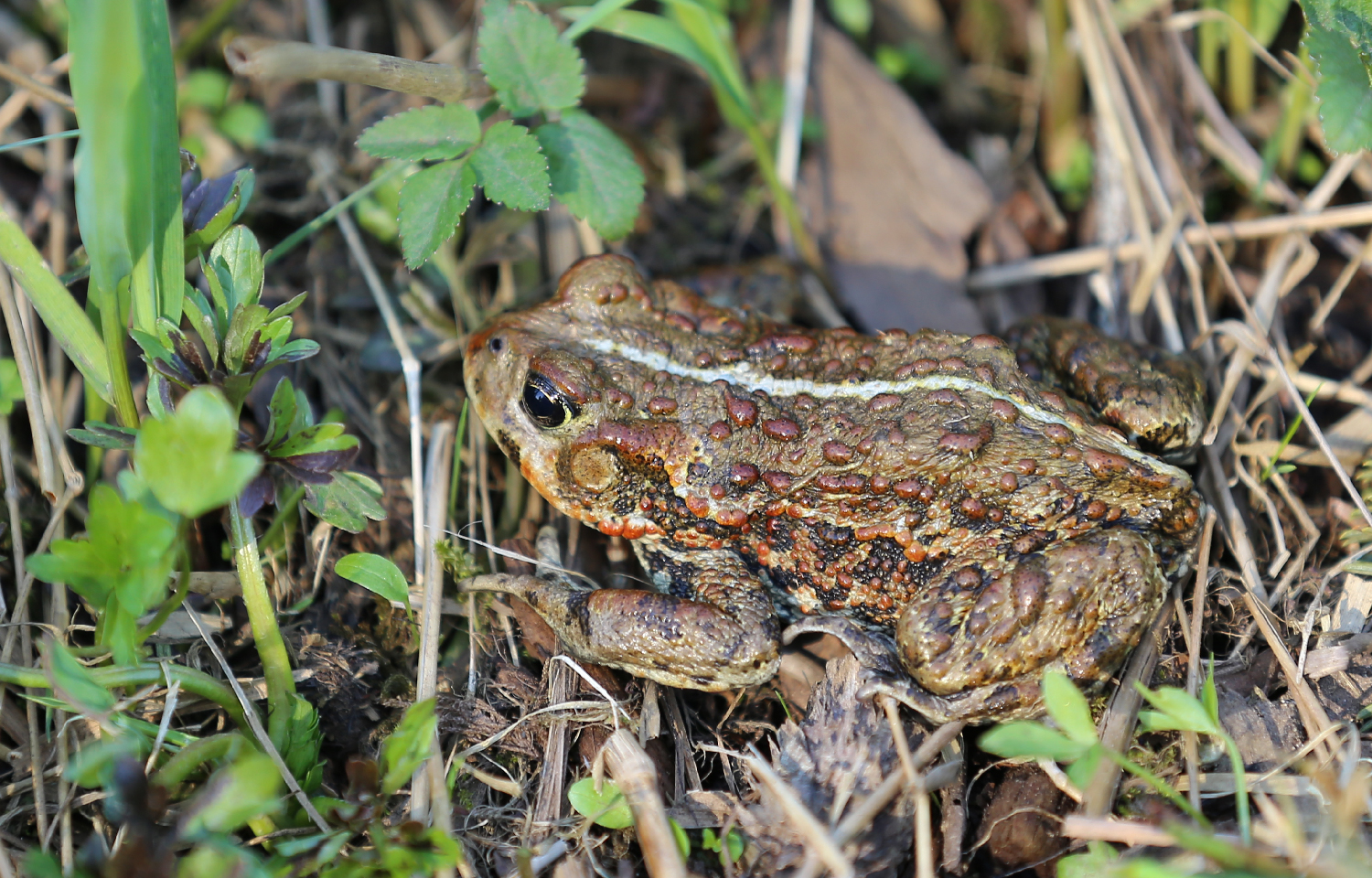 This shy adult toad is about four inches long.