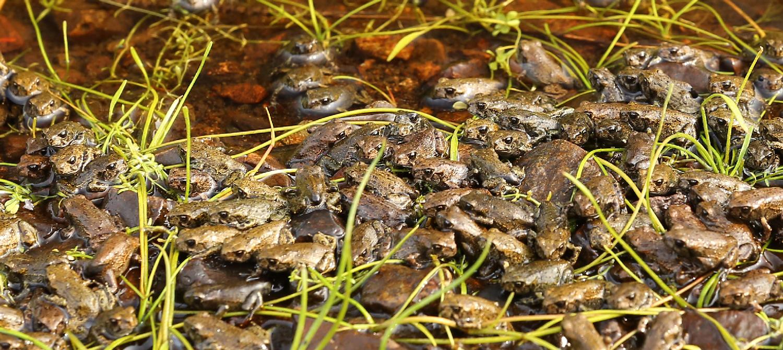 Western toad toadlets in water pond creek Southeast Alaska