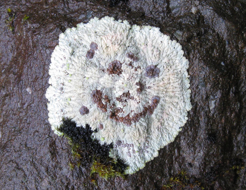 Bullseye lichen smiley face happy face Southeast Alaska