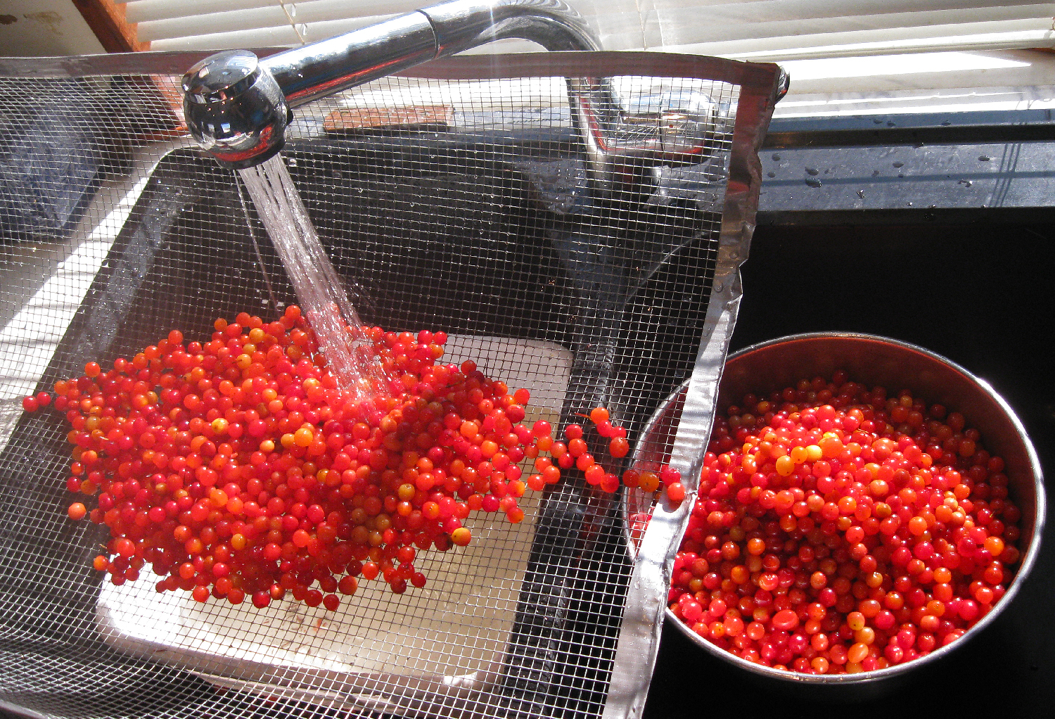 Cleaning  highbush cranberries.
