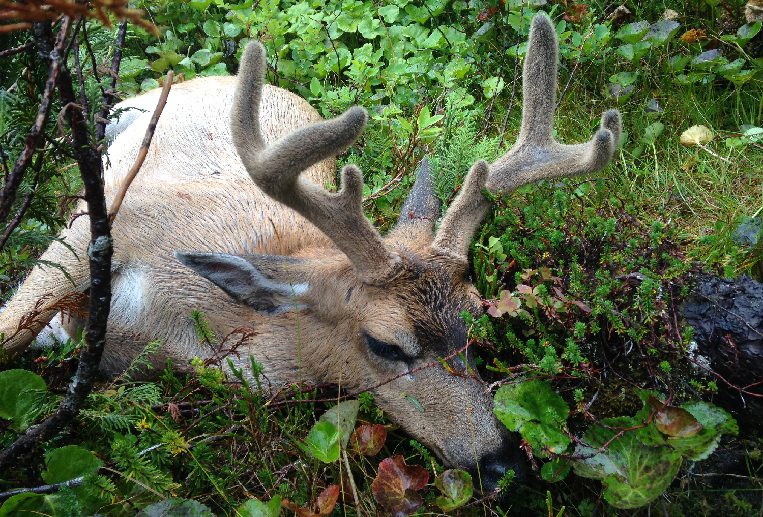 Sitka blacktail buck in velvet.