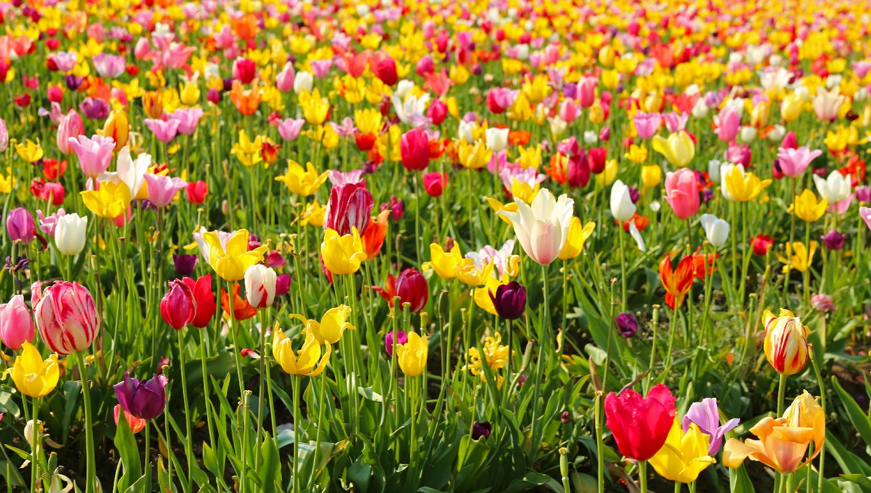Tulip field colorful sunshiny pretty