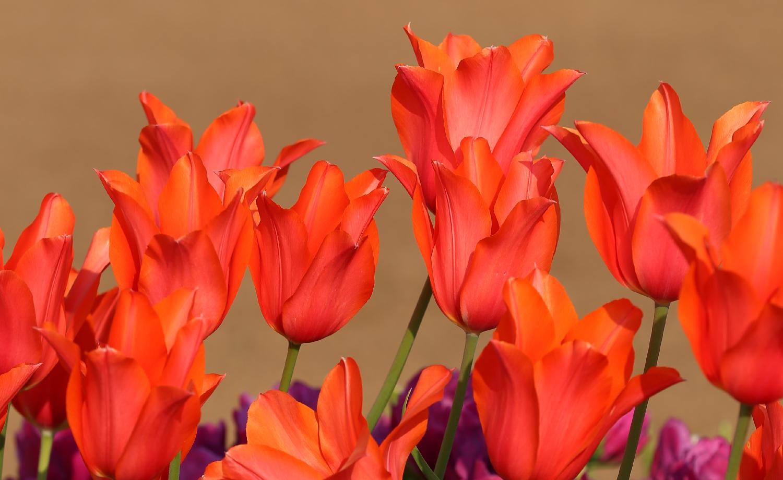 Tulips Beautiful orange coral pretty