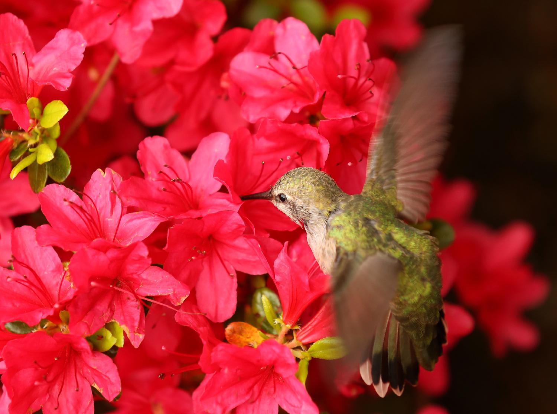 Hummingbird in azaleas
