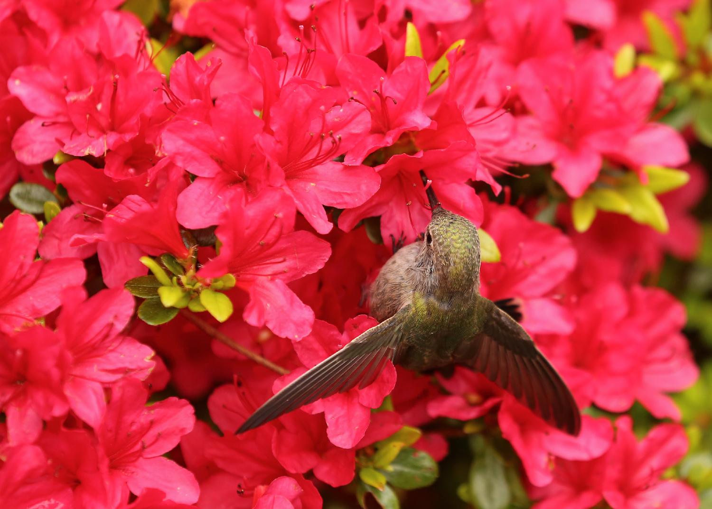Hummingbird in azalea beautiful