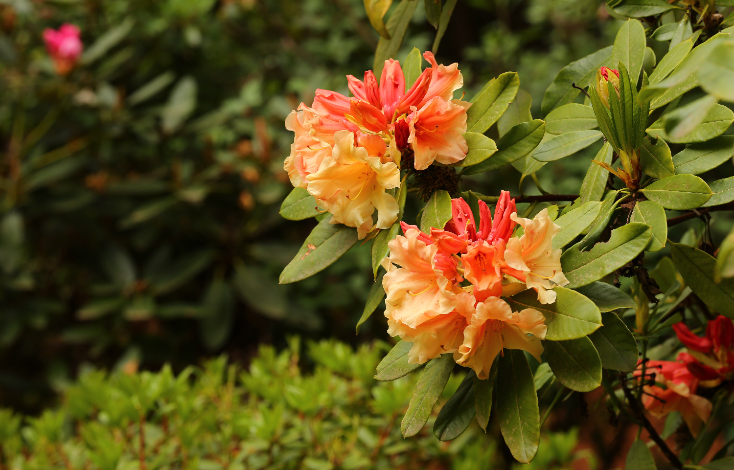 Beautiful rhododendron apricot coral color